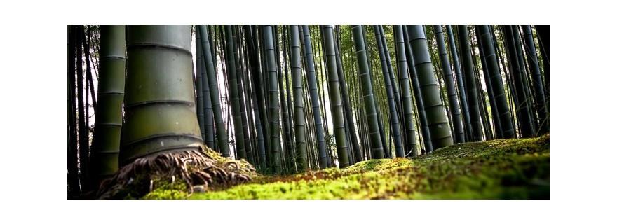 Bambou MOSO